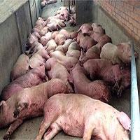 Tổng quan về bệnh dịch tả lợn châu Phi