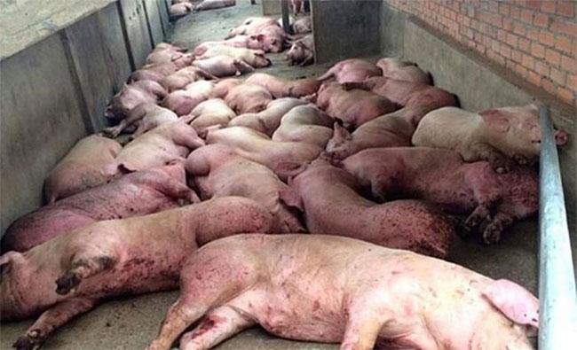 Lợn mắc virus dịch tả lợn châu Phi có tỉ lệ chết 100%