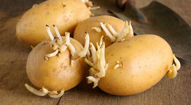 Khoai tây mọc mầm