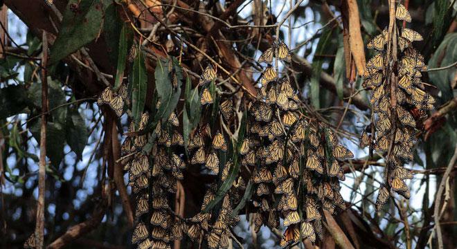 Các hiện tượng khí hậu bất thường trong năm cũng có thể là nguyên do khiến bướm vua suy giảm.