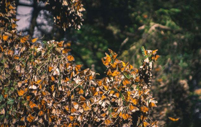 Những con bướm vua phương Tây.