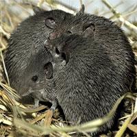 """Loài chuột kỳ lạ hay """"thí"""" luôn da cho kẻ săn mồi"""