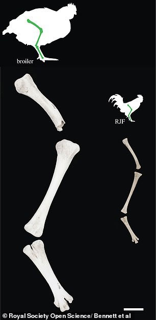 Xương đùi của gà thịt (trái) và gà rừng thời xưa (phải).