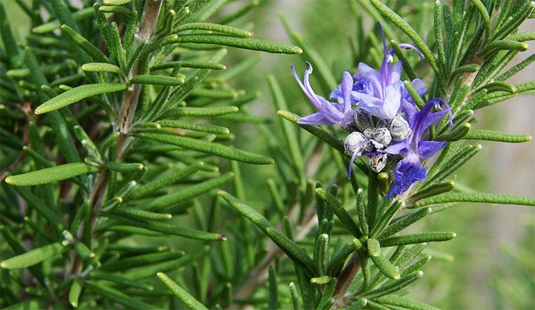 Hương thảo là một loại cây có hoạt tính chống oxy hóa cao.