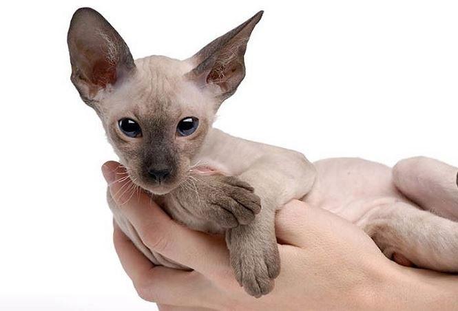 Mèo Peterbalds thích hợp sống trong gia đình và sẵn sàng hỗ trợ chủ trong công việc hàng ngày.