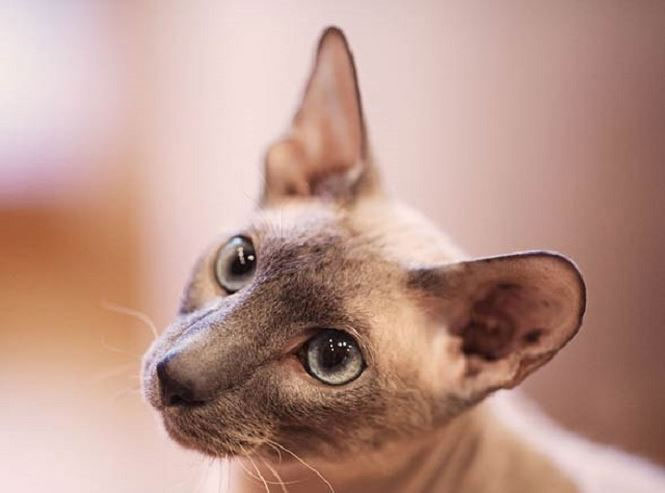 Mèo Peterbald.