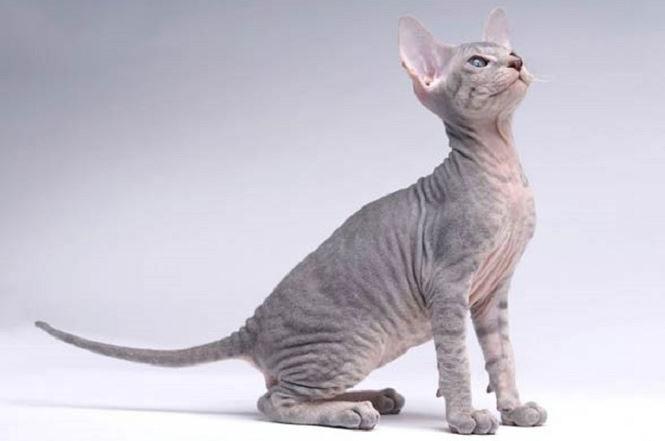 Mèo Peterbald có rất ít lông trên cơ thể.