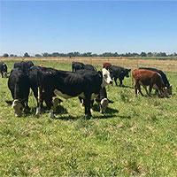 Thịt bò chỉnh sửa gene có dễ ăn?