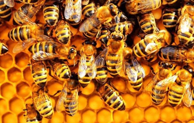 Vắc xin này liên kết với các phân tử thành tế bào vi khuẩn và sau đó kích thích phản ứng miễn dịch của ong.