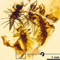 Côn trùng mới nở chết cứng trong hổ phách 130 triệu năm