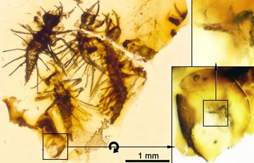Xác côn trùng mới nở kẹt trong hổ phách 130 triệu năm.