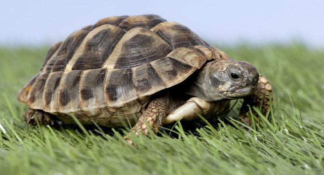 Quá trình nóng lên toàn cầu sẽ gây ra sự chênh lệch giới tính rõ rệt trong quần thể rùa biển xanh.