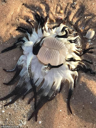 Hải quỳ sọc