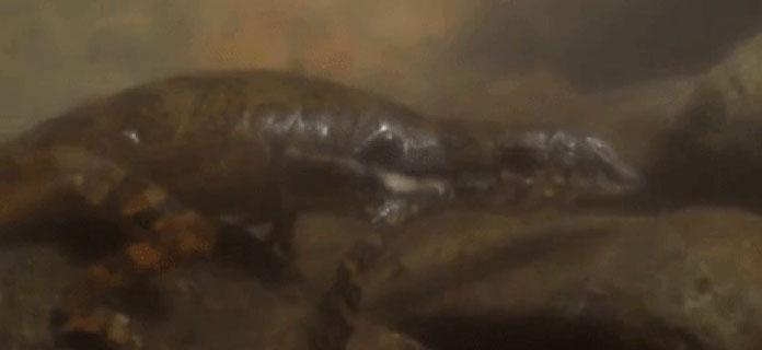 """Loài thằn lằn Anolis oxylophus được cho có khả năng """"thở"""" dưới nước đặc biệt."""