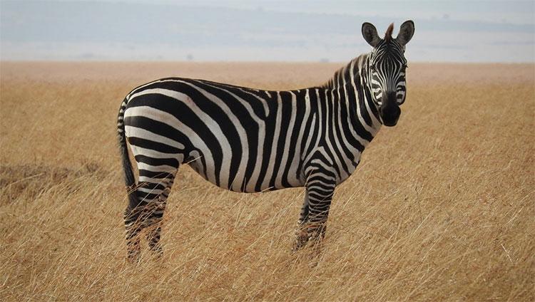 Các sọc trên thân ngựa vằn còn giúp ngựa vằn có thể điều hòa được thân nhiệt.