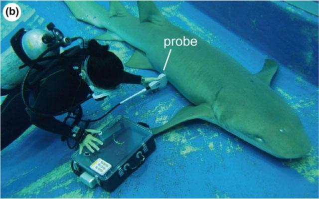 Siêu âm dưới nước cho cá mập y tá hung mang thai.