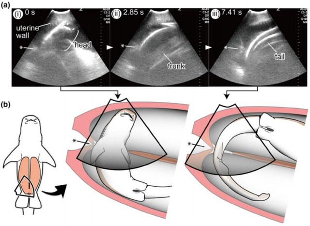 Hình ảnh siêu âm cho thấy cá mập con bơi từ tử cung này sang tử cung kia của cá mẹ.