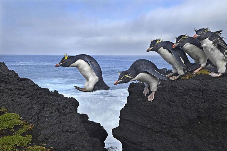 Chim cánh cụt Eudyptes chrysocome