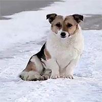 Chú chó trung thành đợi chủ suốt nửa năm dưới thời tiết -30 độ