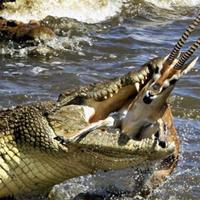Rợn người những pha săn mồi thần tốc của cá sấu