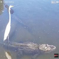 """Chuyện khó tin: Cá sấu """"làm phà"""" đưa chim diệc qua sông"""
