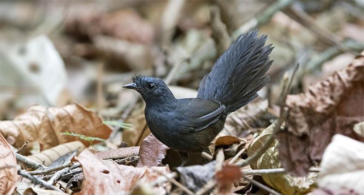 Chim sẻ Stresemann's Bristlefronts (Merulaxis stresemanni) được chú ý lần đầu tiên vào những năm 1830.