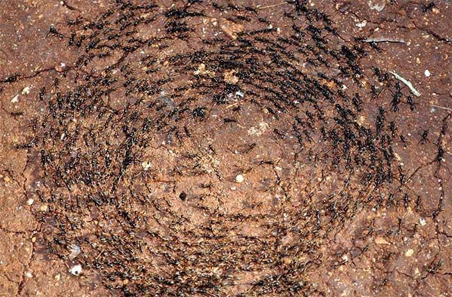 """Mỗi lần """"ra quân"""", một đàn kiến quân đội có thể """"dàn trận"""" rộng đến cả 20m và dài hơn 100m"""