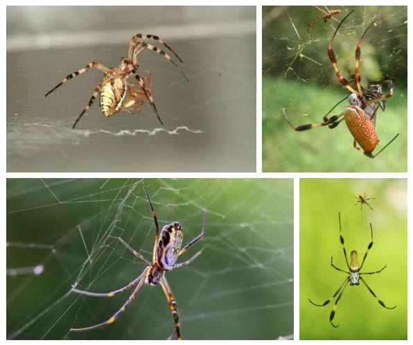 Chỉ có khoảng 30% nhện thợ dệt quả cầu đực thoát kiếp làm thức ăn cho con cái sau khi giao phối.