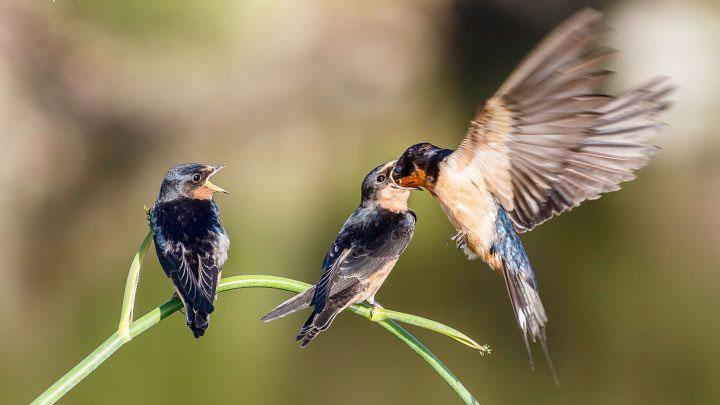 Sự ghi nhận âm thanh của loài chim này còn rõ rệt hơn cả khi chúng được nghe tiếng hót của chính đồng loại của mình.