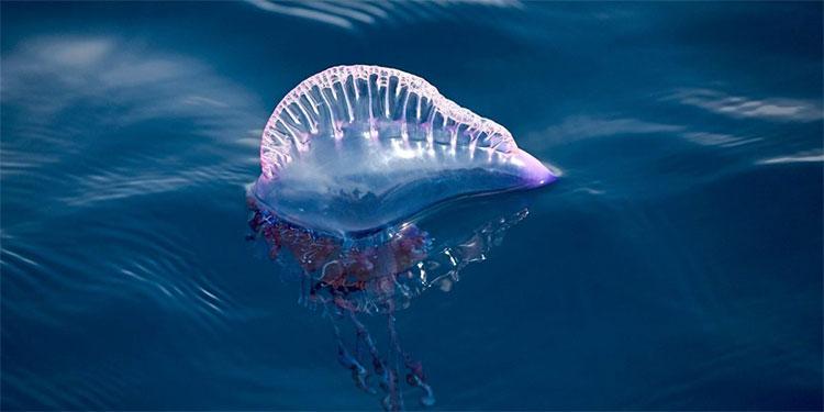 Một con sứa bluebottle trên biển