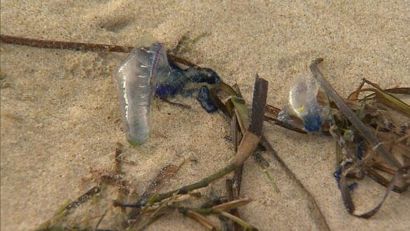 Theo chuyên gia, gió mạnh và nắng nóng khiến sứa dạt vào bờ với số lượng lớn