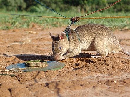 Chuột có thể di chuyển qua nhiều nơi có bom mìn mà không gây nổ.