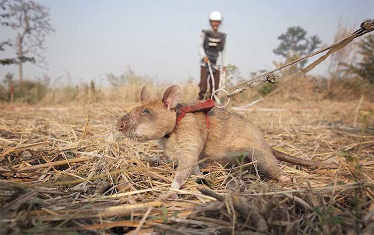 Chuột dò bom mìn ở châu Phi.