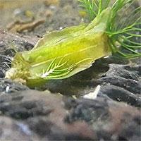 Lấy nước vào bể cá, phát hiện sinh vật dị chưa từng thấy