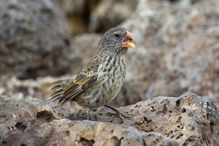Chim sẻ đất Galapagos.