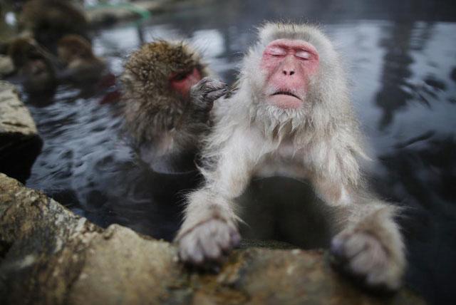Thú vui của khỉ tuyết Nhật Bản là ngâm mình trong hồ nước nóng.