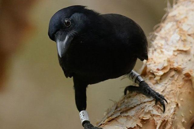 Loài quạ New Caledonian được đánh giá có trí thông minh tuyệt vời.