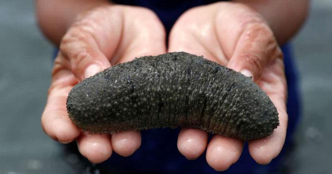 """Hải sâm - loại """"dưa chuột"""" siêu đắt giá đến từ đại dương."""