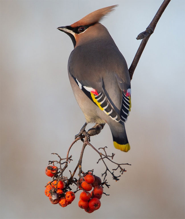 Chim chá dực có bộ lông chủ yếu màu xám da trâu, lông mặt màu đen và màu nhọn.