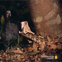 Rắn hổ lục ẩn mình dưới lá khô, tung cú đớp đoạt mạng chim trong chớp mắt