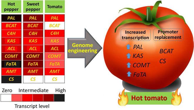 Chỉnh sửa gene có thể giúp cho cà chua có vị cay.