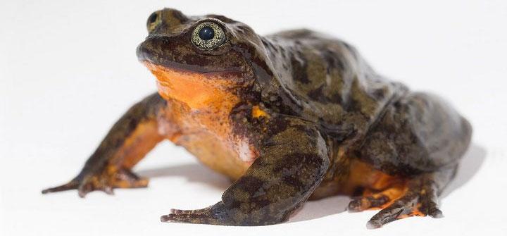Quần thể của những loài cóc này đã may mắn hồi sinh trở lại chỉ nhờ một vài cá thể còn sống sót trong tự nhiên.