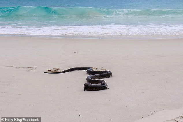 Tuy nhiên, khi phát hiện thấy có người xuất hiện, con rắn đã tha bữa ăn của mình đi nơi khác để thưởng thức.