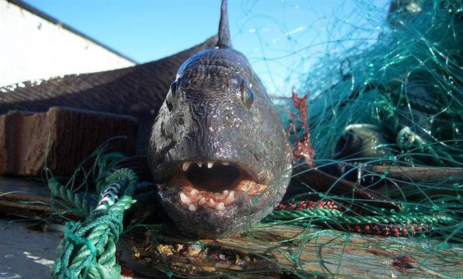 Loài cá này thích sống ở nơi nước lạnh khoảng 0,5 cho tới 3 độ C