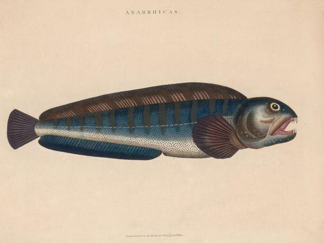 Cá sói Đại Tây Dương đóng vai trò tối quan trọng trong hệ sinh thái đại dương.