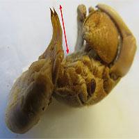 Ốc mượn hồn tiến hóa cơ quan sinh dục dài hơn để bảo vệ nhà