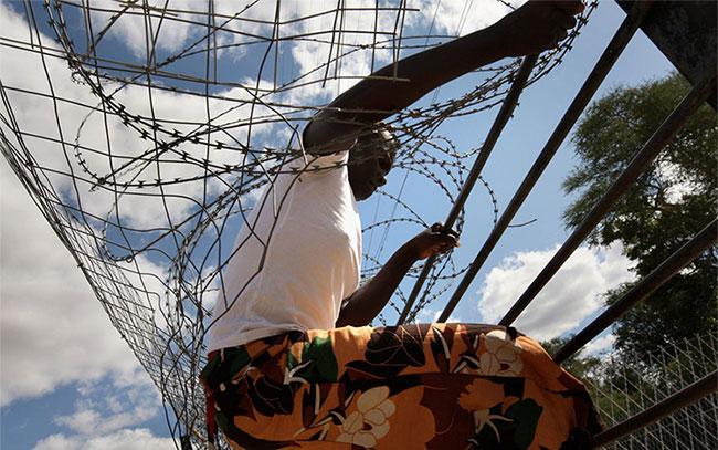 Một người nhập cư Zimbabwe trèo qua hàng rào dây thép gai khi băng qua Nam Phi bất hợp pháp