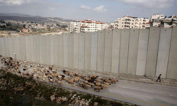 Một người chăn cừu Palestine dẫn đàn cừu của mình đi qua trước hàng rào của Israel