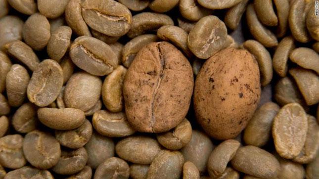 Cà phê arabica có thể bị tuyệt chủng chỉ sau 60 năm tới.