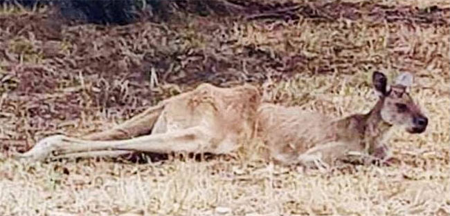 Một con Kangaroo già chết vì nắng nóng.